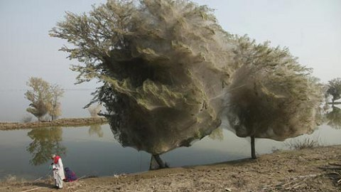 巴基斯坦 蜘蛛上树