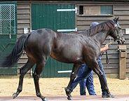 sheikh horse
