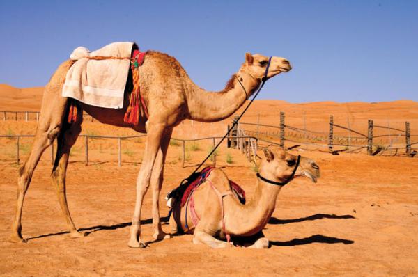Camels_编辑