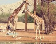 Giraffe_副本