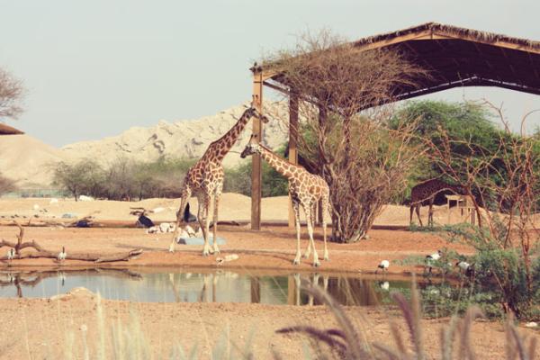 Giraffe_编辑