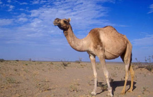 camel1-300x190