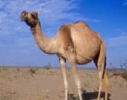 camel1-300x190_meitu_1
