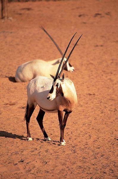 nEO_IMG_nEO_IMG_lux3081de-95828-Oryx pair